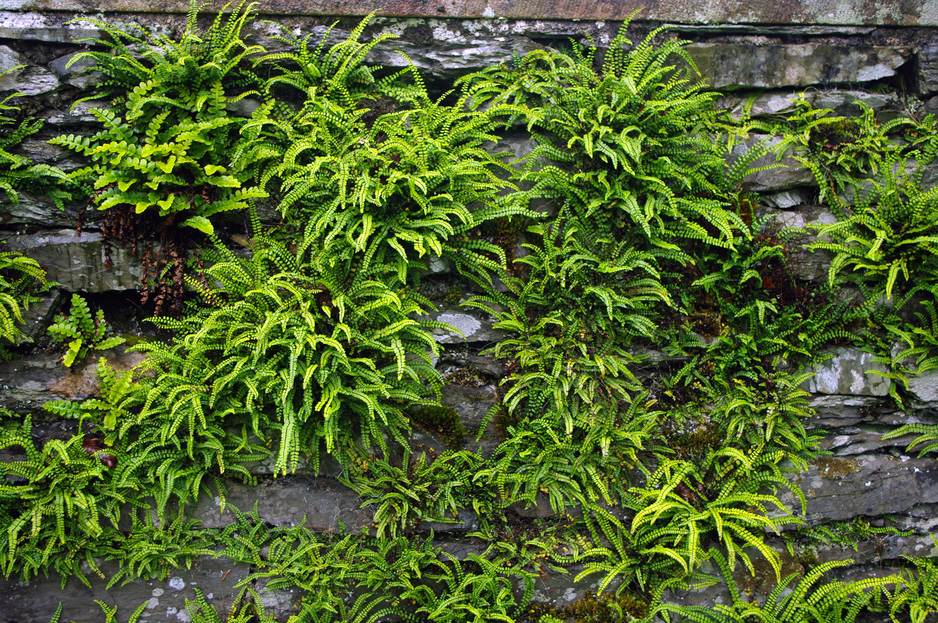 lake district wettest parts UK ferns traditional dry stone wall