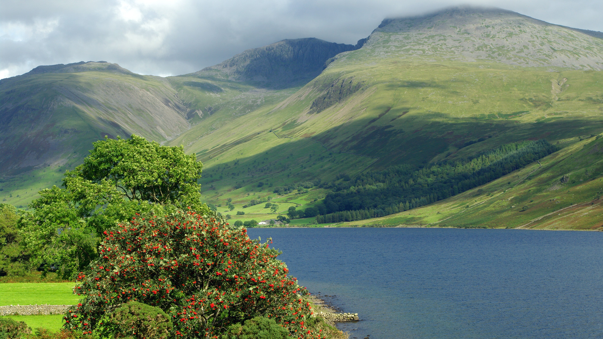 lake district mountain rowan tree covered red berries