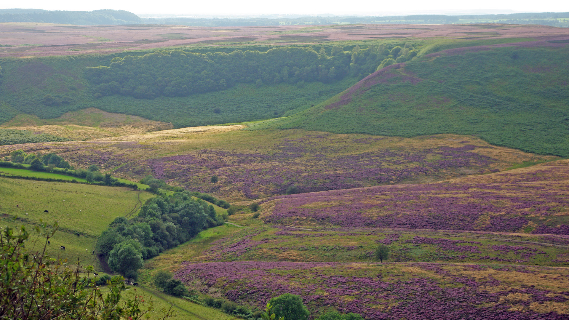 North Yorkshire Moors heather flowers