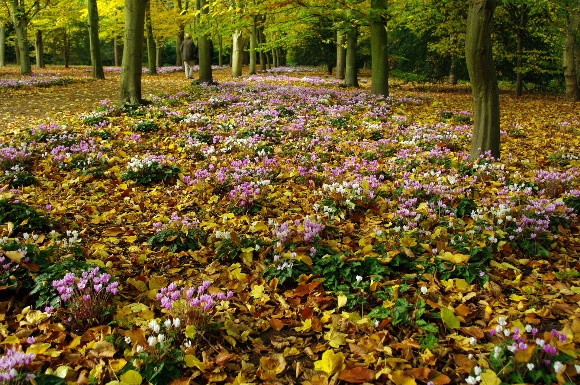 Fallen autumn leaves cyclamen Anglesey Abbey