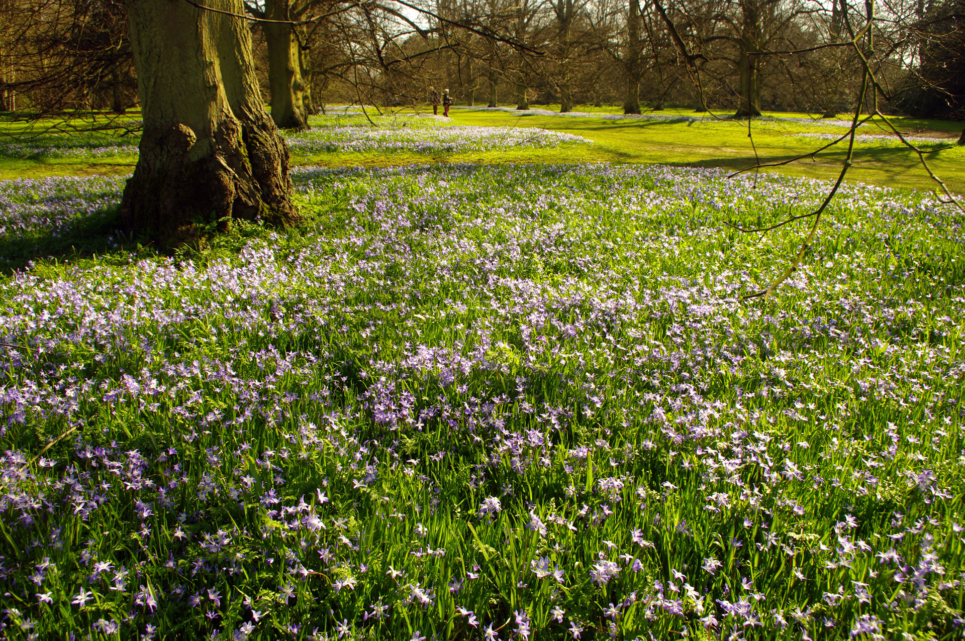 Spring flowers Anglesey Abbey Chionodoxa glory of the snow beneath mature trees