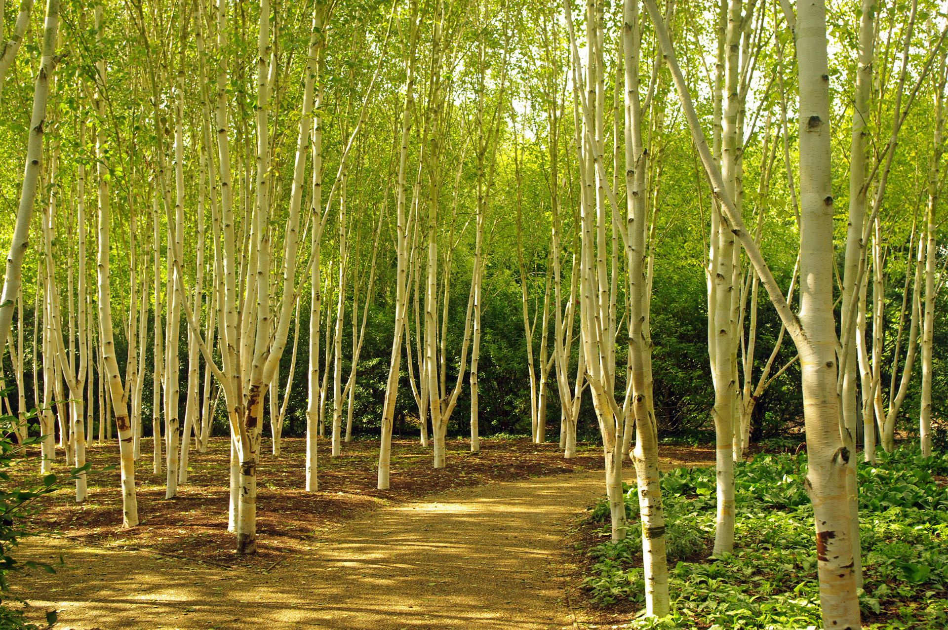 Himalayan silver birches Anglesy Abbey