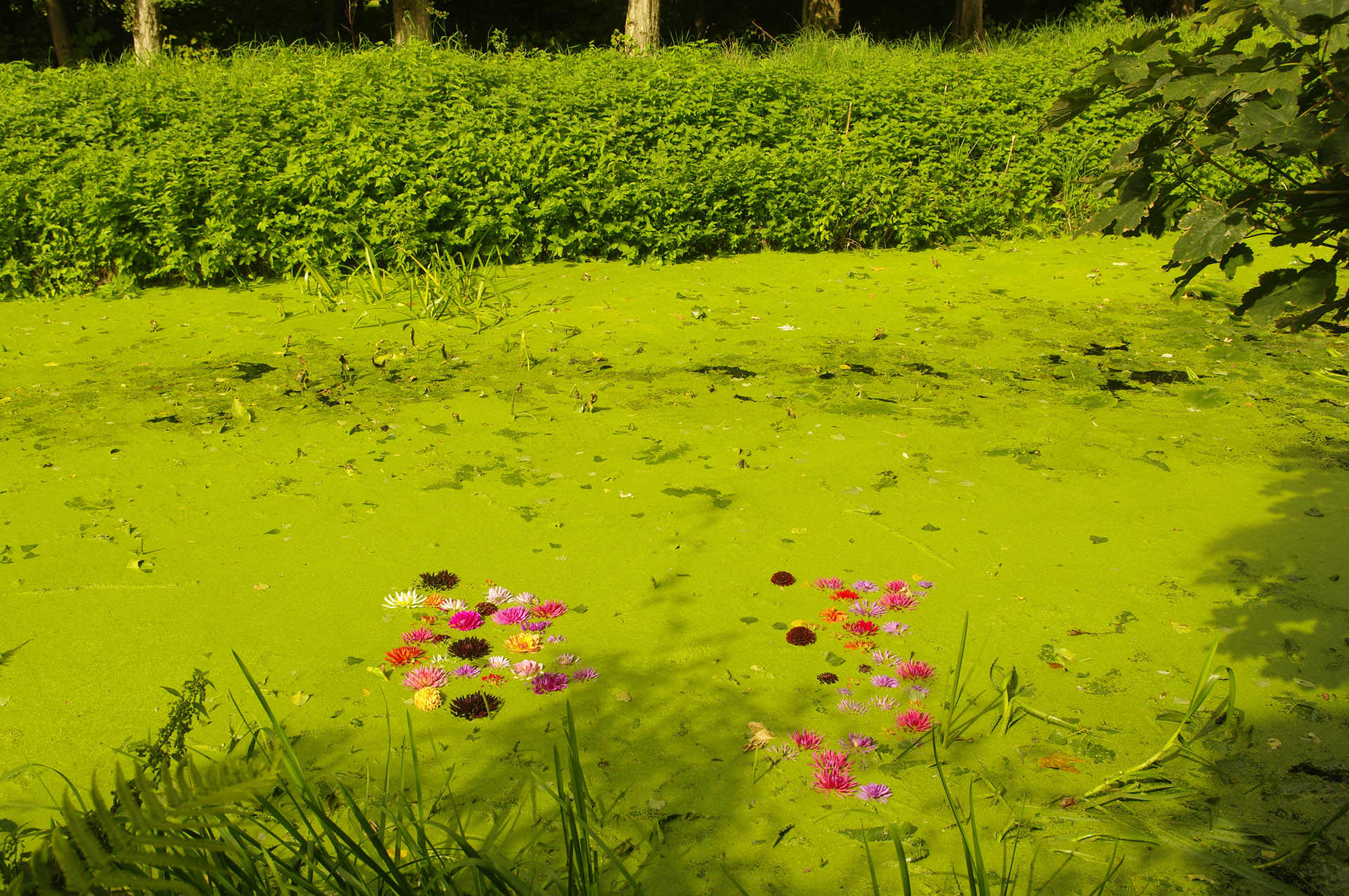 anglesey abbey Dahlia festival flowers floating duckweed covered lode